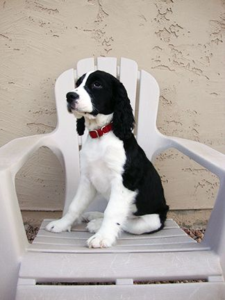 Pin By Tina Chamberlain On Lexie Springer Spaniel Puppies Spaniel Puppies Springer Spaniel