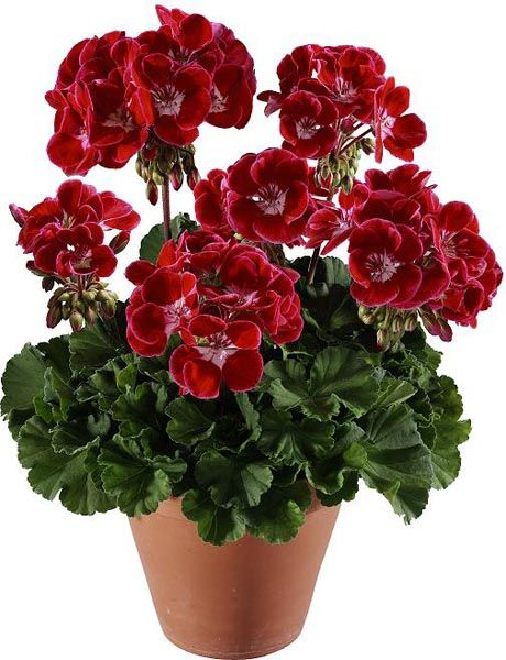 50 PCS Seeds Geranium Flowers Plants Bonsai Giant Red Blooms Garden Ornamental N