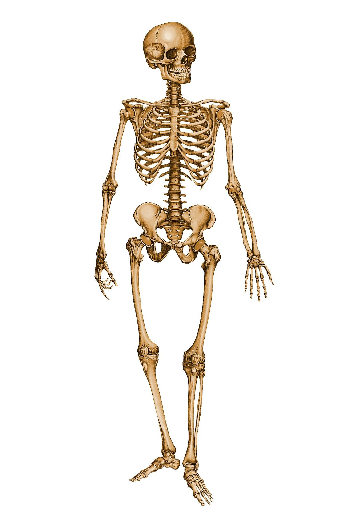 Skeleton Human Skeleton 12029879 In Stockproject By