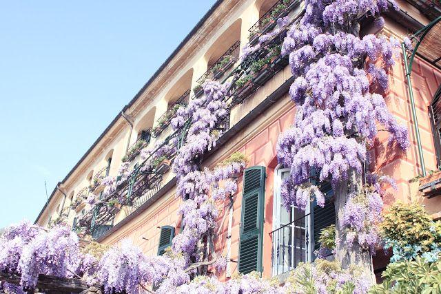Wisteria Sinensis flowers of Hotel Splendido. ODA blogspot