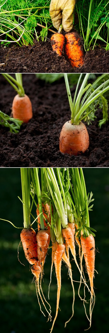 how+to+harvest+carrots.jpg 466×1,415 pixels