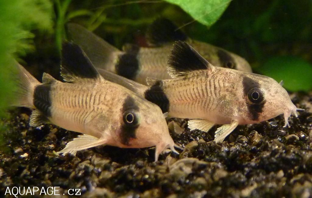 Corydoras panda panda cory we 39 ve got 5 of these it 39 s so for Cory cat fish