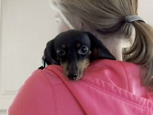 Adopt Mason On Adoptable Dachshund Dog Dachshund Puppies Dachshund
