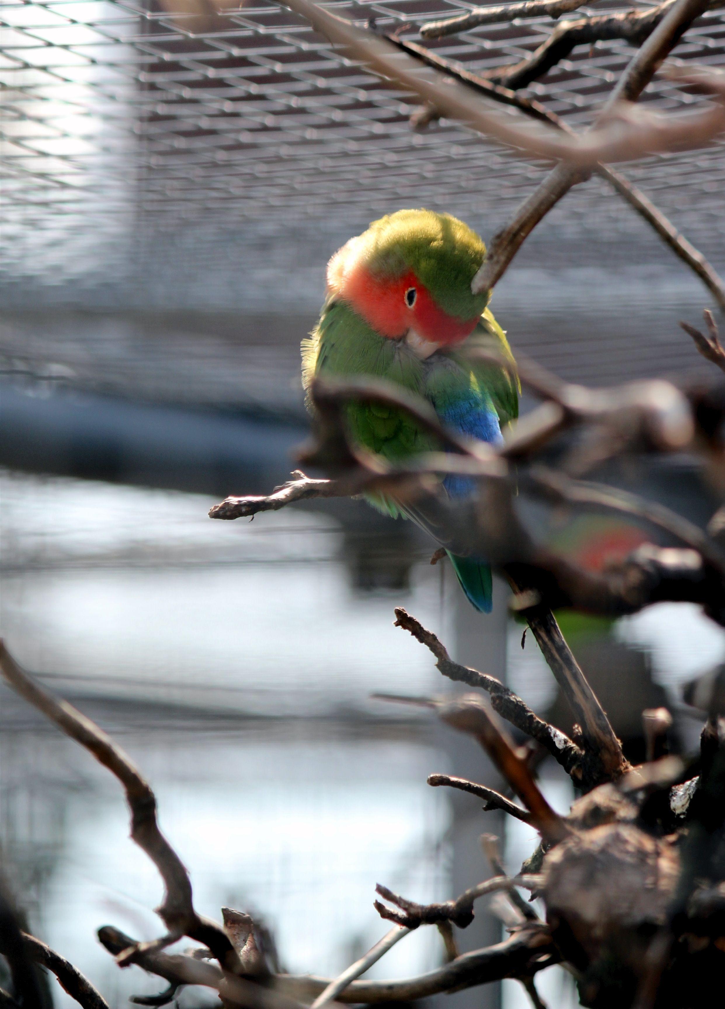 Little Agapornis Papagai