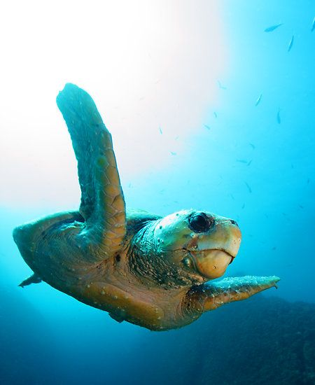 Image of: Wildlife Marine Life Endangered Animals Marine Life Endangered Animals Wildlife Pinterest Animals