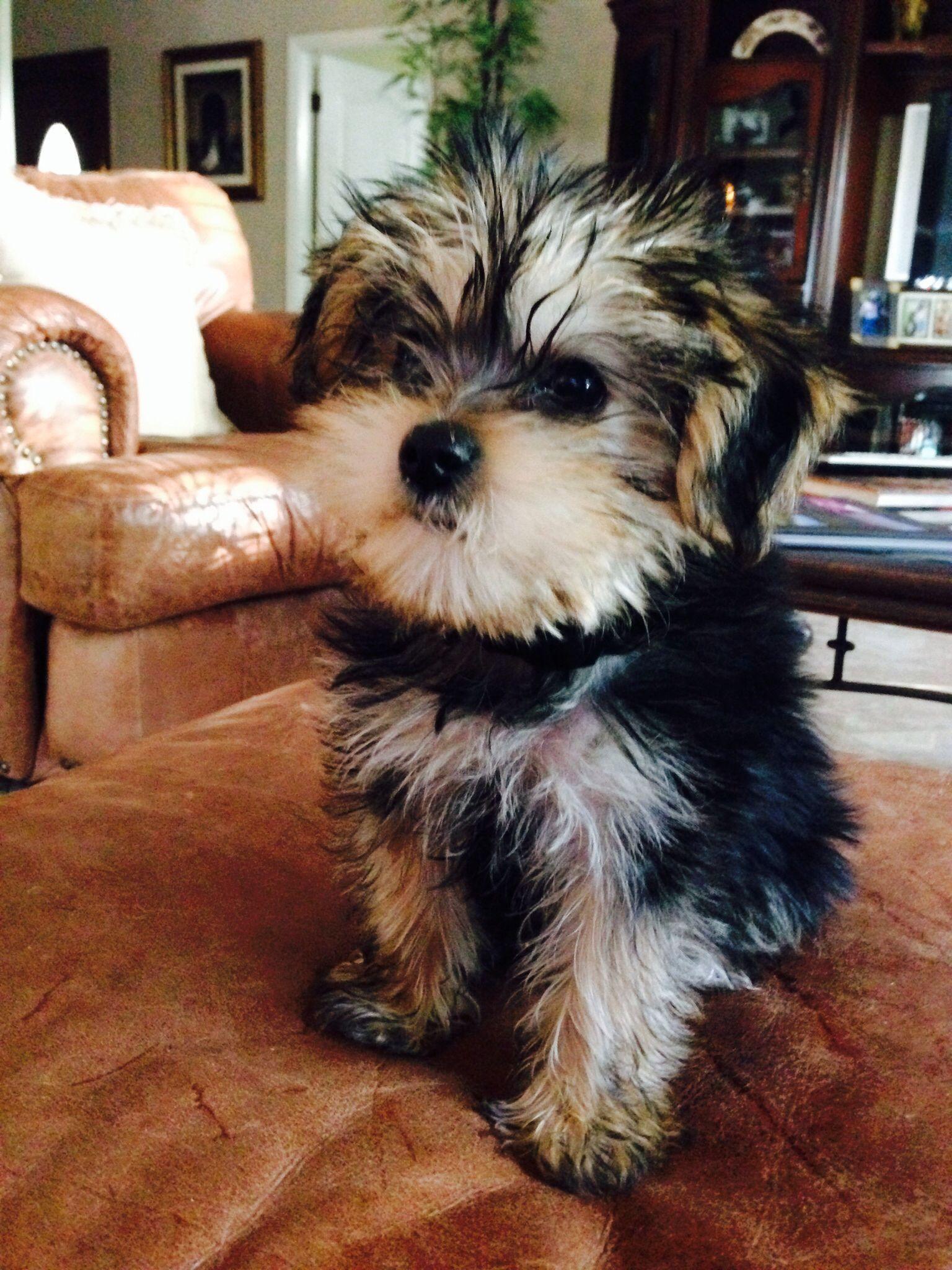Morkie Puppies, Yorkie, Cute animals