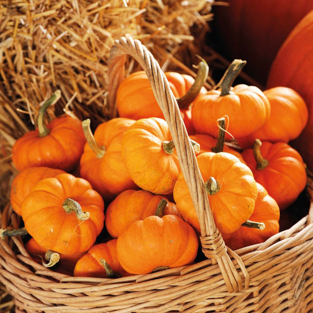 Pumpkin Seeds Jack Be Little
