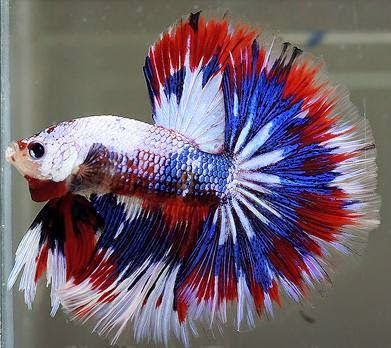 Half Moon Fighter Fish Betta Fish Care Betta Fish Betta Fish Tank