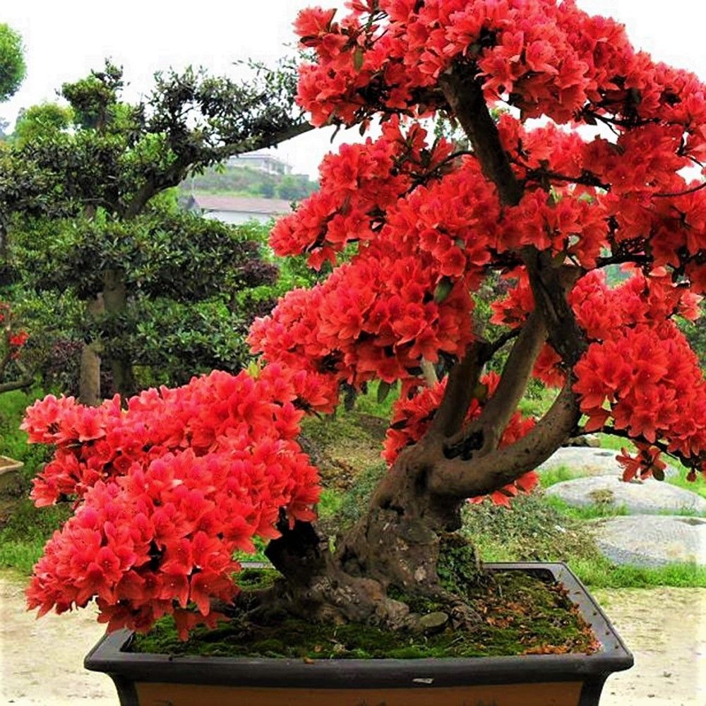 10pcs New Red Japanese Sakura Seeds Cherry Blossom Flower Bonsai Rare Seeds Tree Trees To Plant Bonsai Garden Garden Bonsai Tree