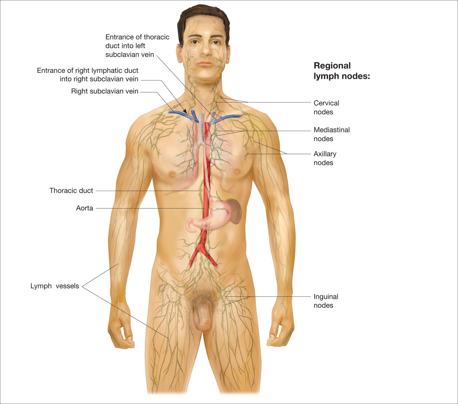 Male Human Anatomy Diagram Human Anatomy Organs Anatomy Organs