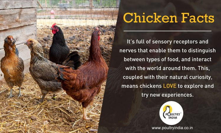 CHICKEN FACTS !!! visit us www.poultryindia.co.in