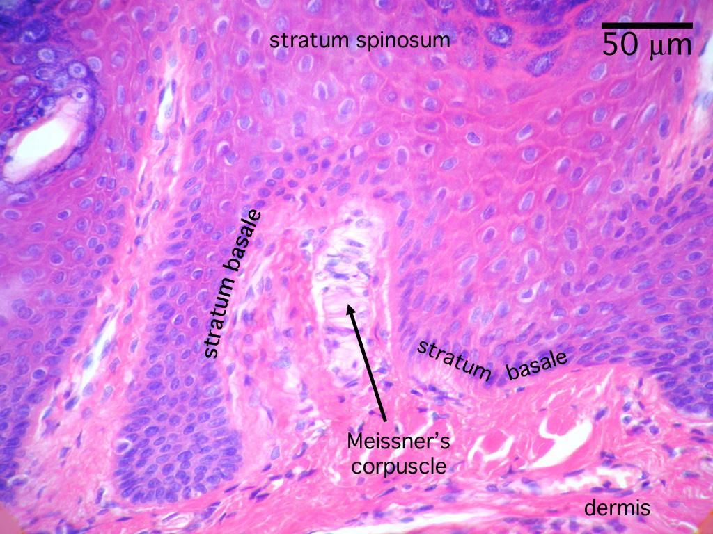 Histology - Integumentary System - Medicine Cam101 with Dwight ...