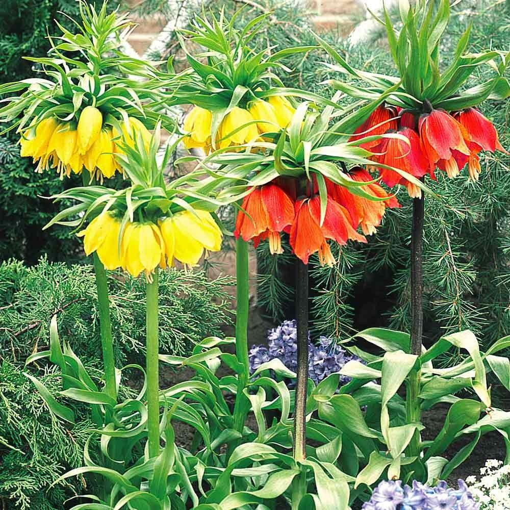 The Giant Fritillaria Crown Imperiall is a very popular