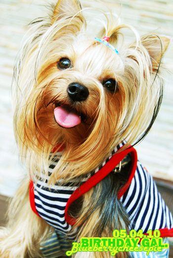 Bdg Twenty Two By Blueberrycheesepie On Deviantart Yorkie Most Beautiful Dogs Cute Dogs Breeds