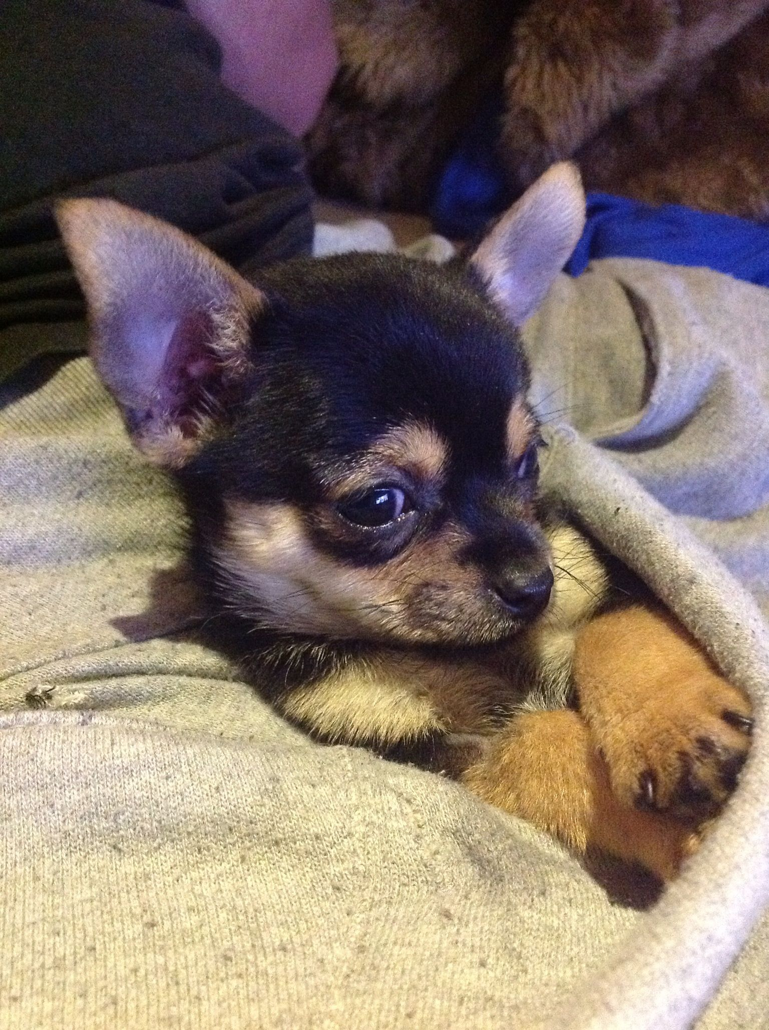 Pin by Karen Gilloon on Mignon! Chihuahua, Animals, Dogs