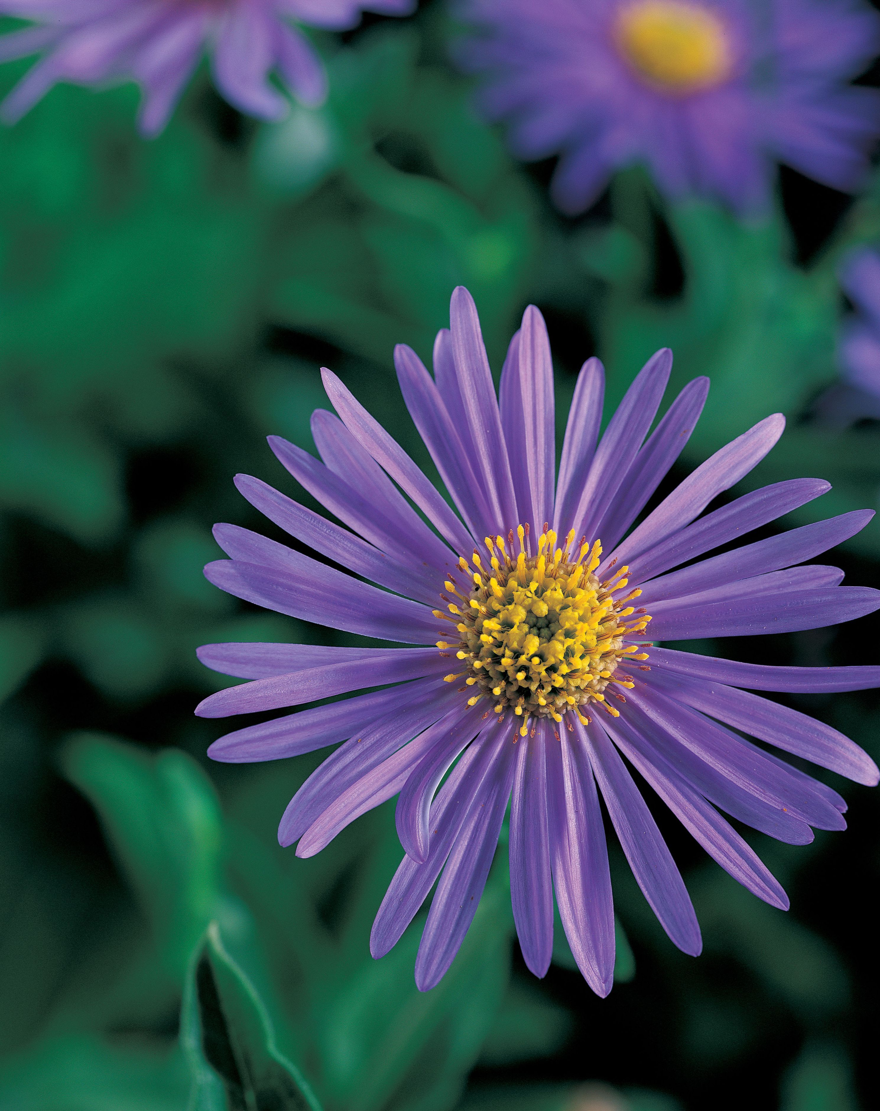 10 Easy Growing Asters Add A Touch Of Color To The Garden With These Low Maintenance Flowers Lowmaintenancelandscapeshade Aster Flower Low Maintenance Landscaping West Facing Garden