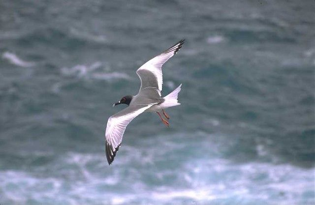 Swallow-tailed Gull.  One of the fanciest gulls
