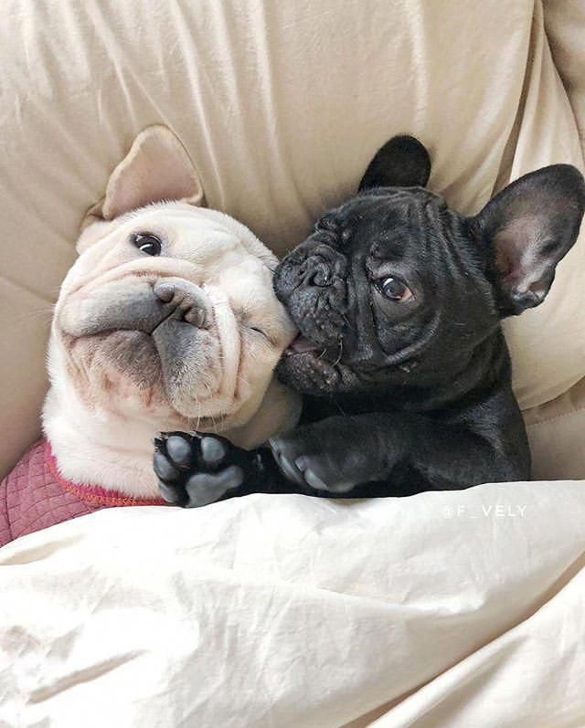 Facts On The Courageous Bulldog Puppies Personality