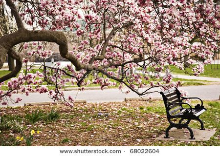 Park Bench Under The Magnolia Tree In Goodale Park In Columbus Ohio Magnolia Trees Garden In The Woods Landscape Trees