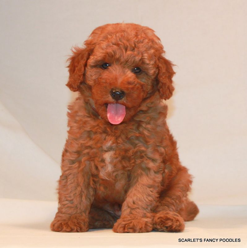 Scarlet S Fancy Poodles Akc Red Mini Poodles With Images