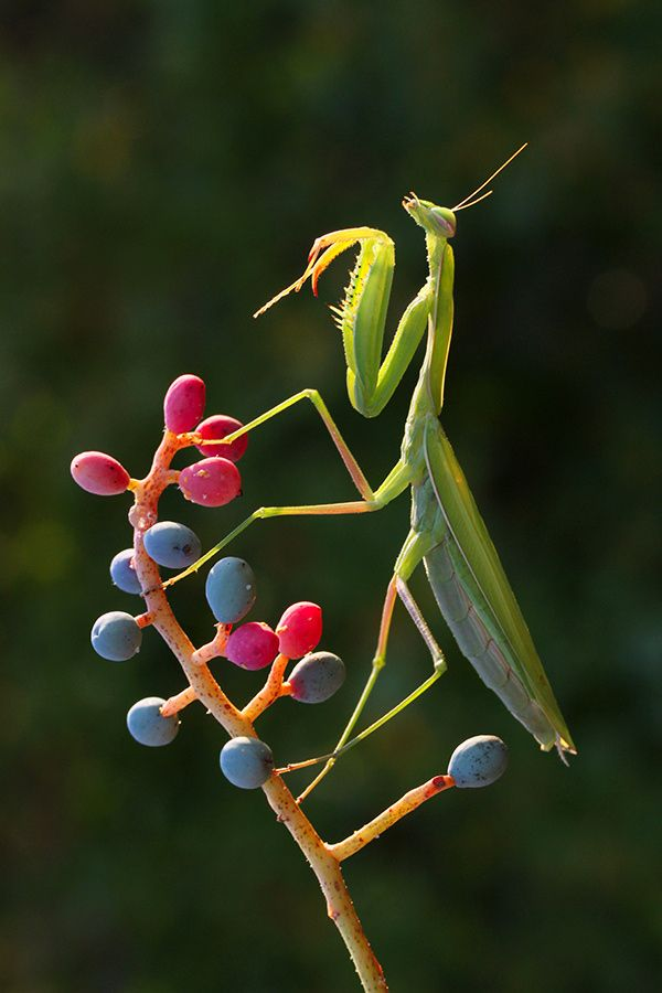 European mantis - ..