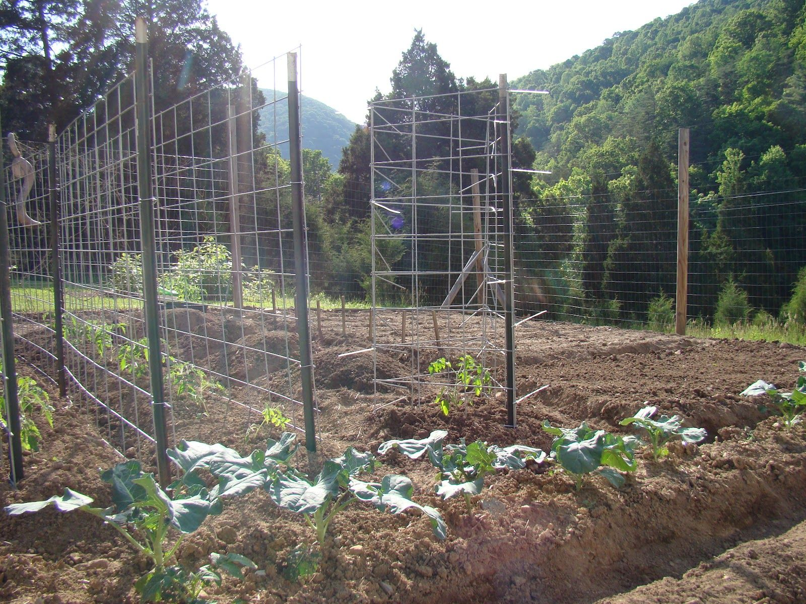 tomato cage cattle panel - Google Search | Gardens | Pinterest ...