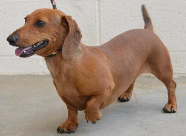 Adopt Trixie On Pet Finder Dachshund Dog Dachshund