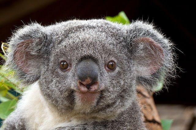 Wet Koala Google Search Fun Facts About Animals Animal Facts Koala