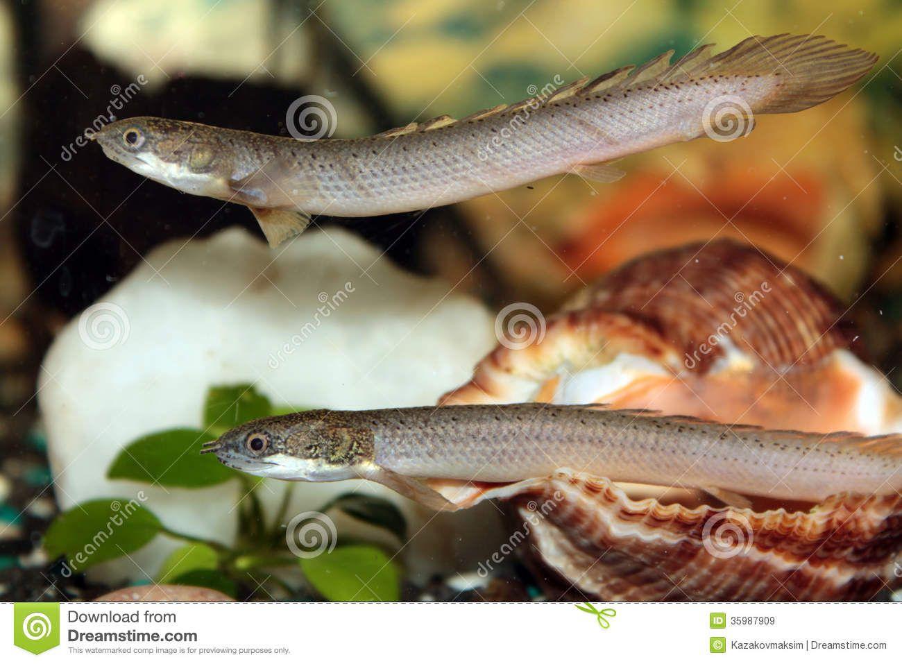 Image from http://thumbs.dreamstime.com/z/senegal-bichir-aquarium-fish-freshwater-35987909.jpg.