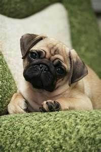 Pug-Puppy-Picture.jpg 199×300 pixels