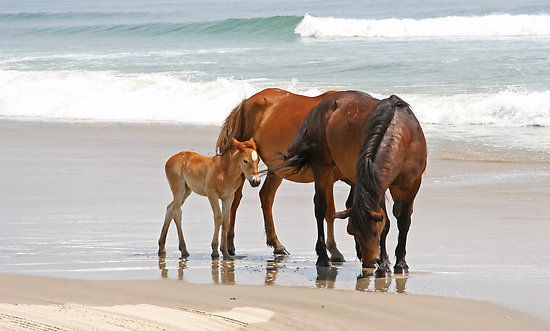 A family of wild horses on a beach with the ocean behind them. This was taken on the Outer Banks of North Carolina, north of Corolla.