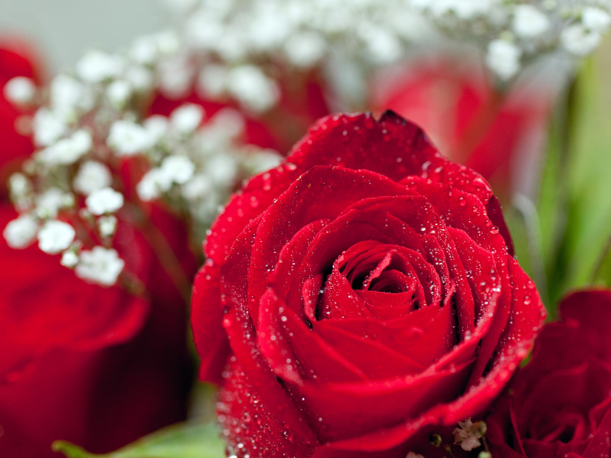 Pin by mens in black on test pinterest flower images red roses how to grow long stem roses at home a bouquet of long stem roses can be a beautiful way to make a statement a single graceful flower atop a long izmirmasajfo