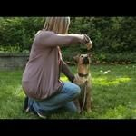 VIDEO: How To Train A Puppy To Sit And Stay