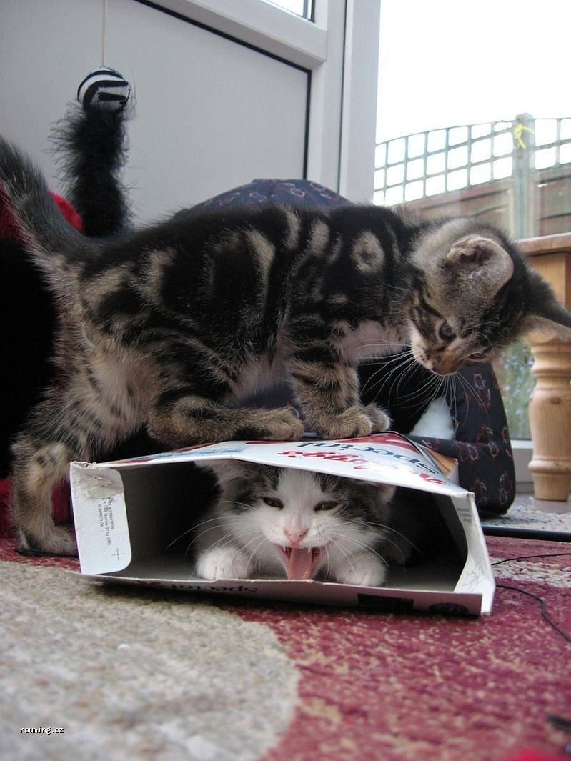 Cat in cereal box with kitten