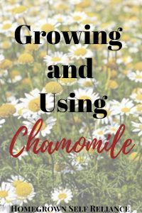 Everything You Need to Know About Chamomile Chamomile is an amazing herb! Learn here how to grow it and the many ways you can use it medicinally.