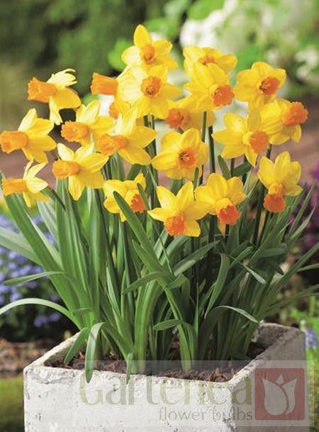 Narcissus Jetfire Gartenea Narcissus Daffodils Plants