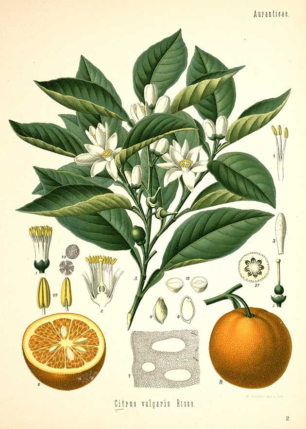 Citrus vulgaris Risso. (Citrus aurantium L.), Orange - Medicinal Botanical Plants