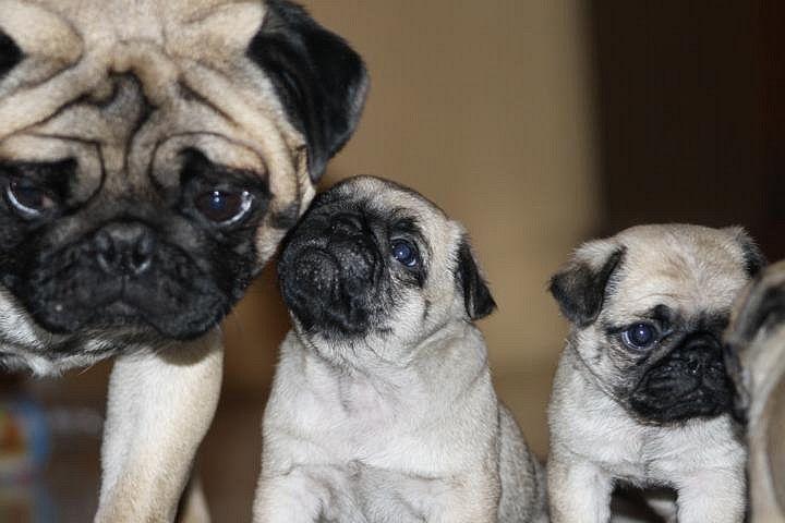 Cute Pug Puppies With Mom Cute Pug Puppies Cute Pugs Pugs Funny