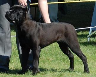 Cane Corso Dog Breed Information Cane Corso Cane Corso Dog Cane Corso Puppies