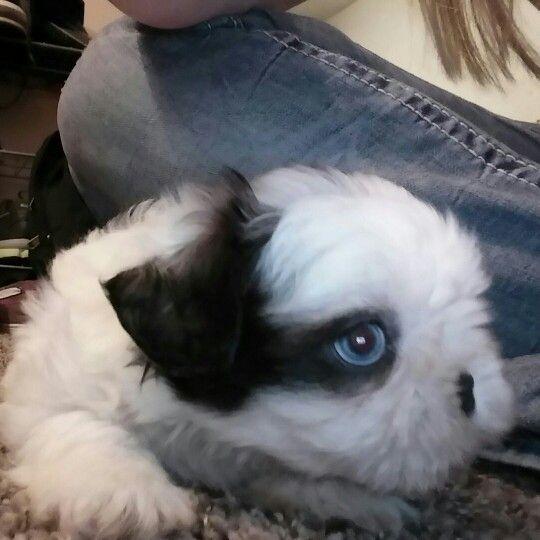 Blue Eyed Shih Tzu Puppy Our Blue Eyed Shih Tzu Puppy Pinterest
