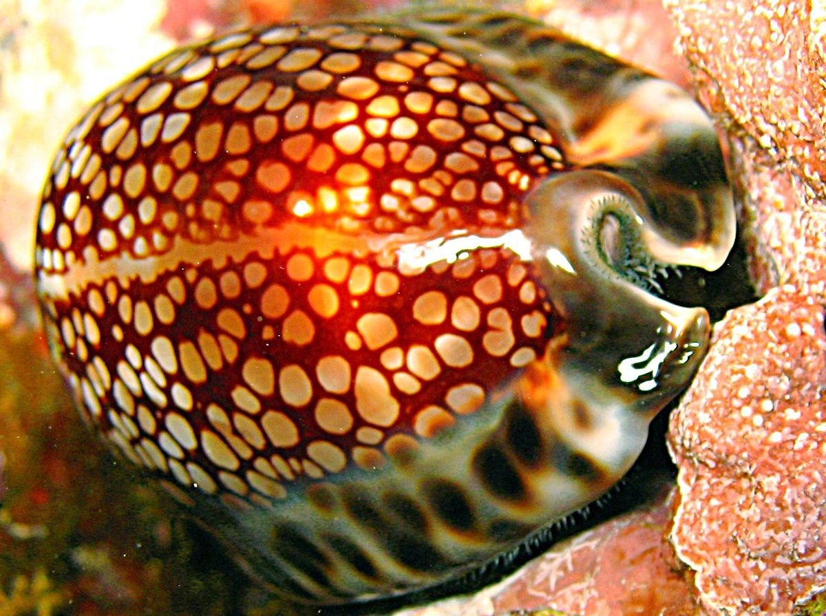 Reticulated Cowry Cypraea Maculifera Sea Shells Sea Shell Decor Shells