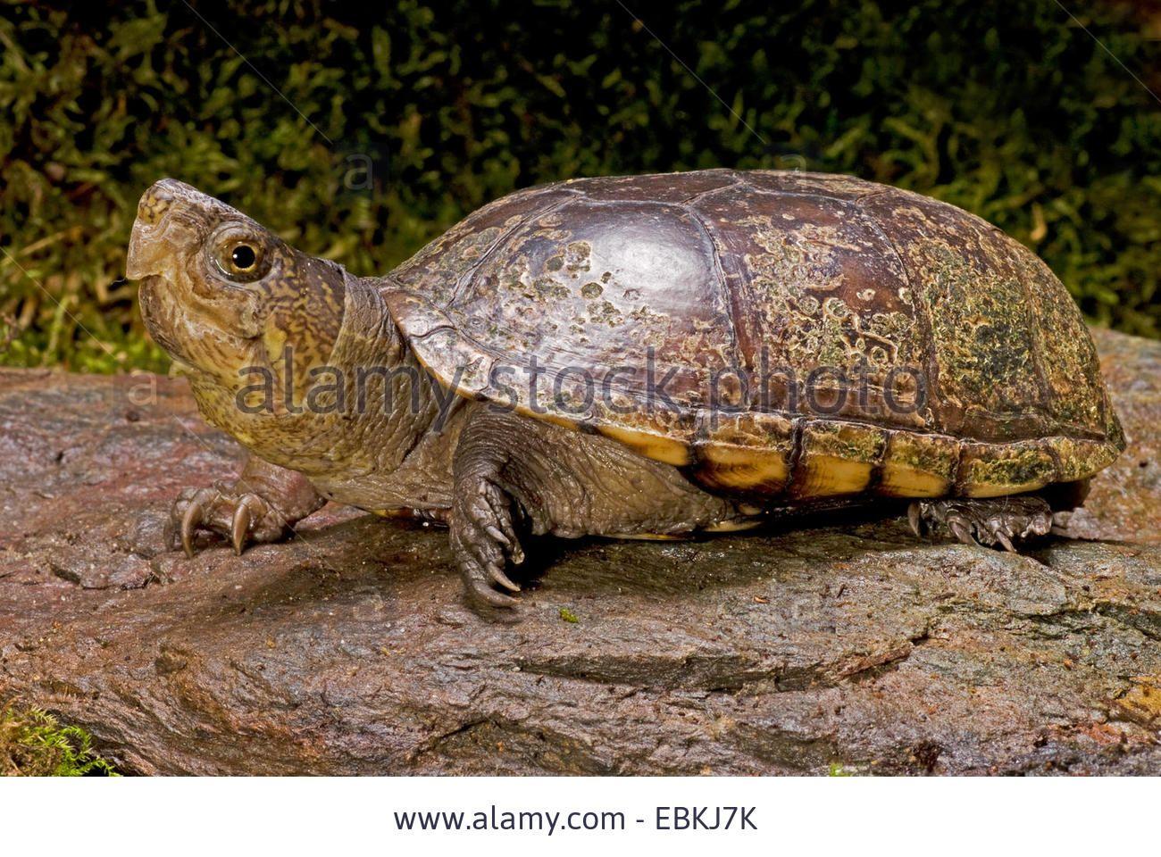 Mud Turtle Common Mud Turtle Eastern Mud Turtle Kinosternon