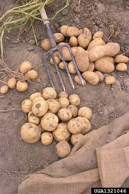 Tuesday, March 31st, 2015: Potato, Solanum tuberosum  (Solanales: Solanaceae) - Peggy Greb, USDA Agricultural Research Service, Bugwood.org