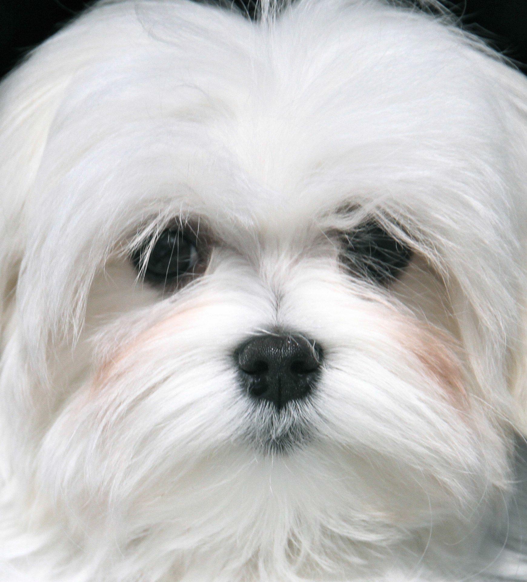 Maltese Dogs, Dog Mixes, Maltese
