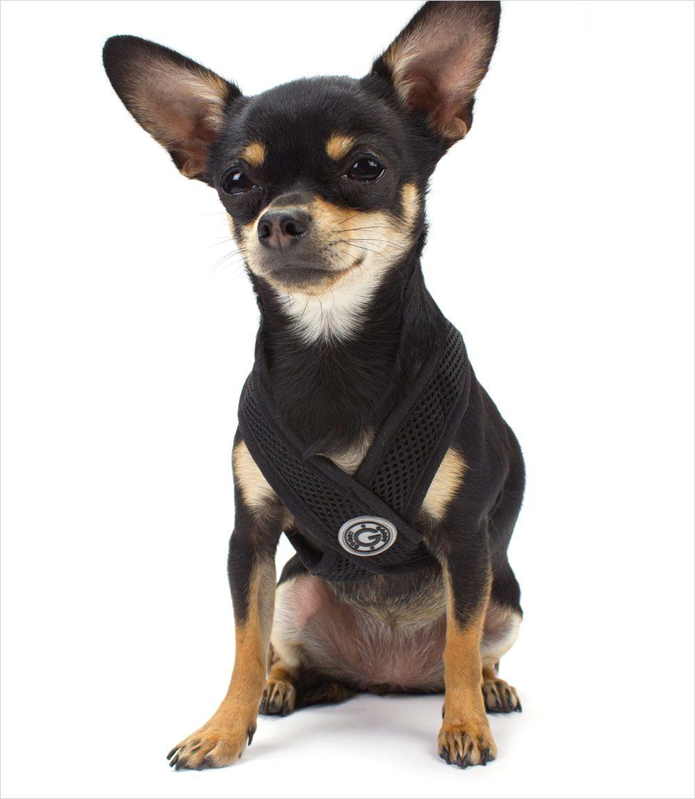 Https Www Askideas Com Media 27 Beautiful Black Chihuahua Dog