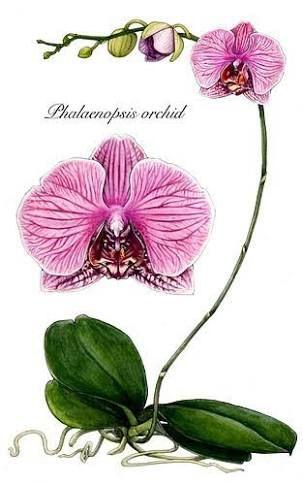 Resultado de imagem para botanical drawings of orchids