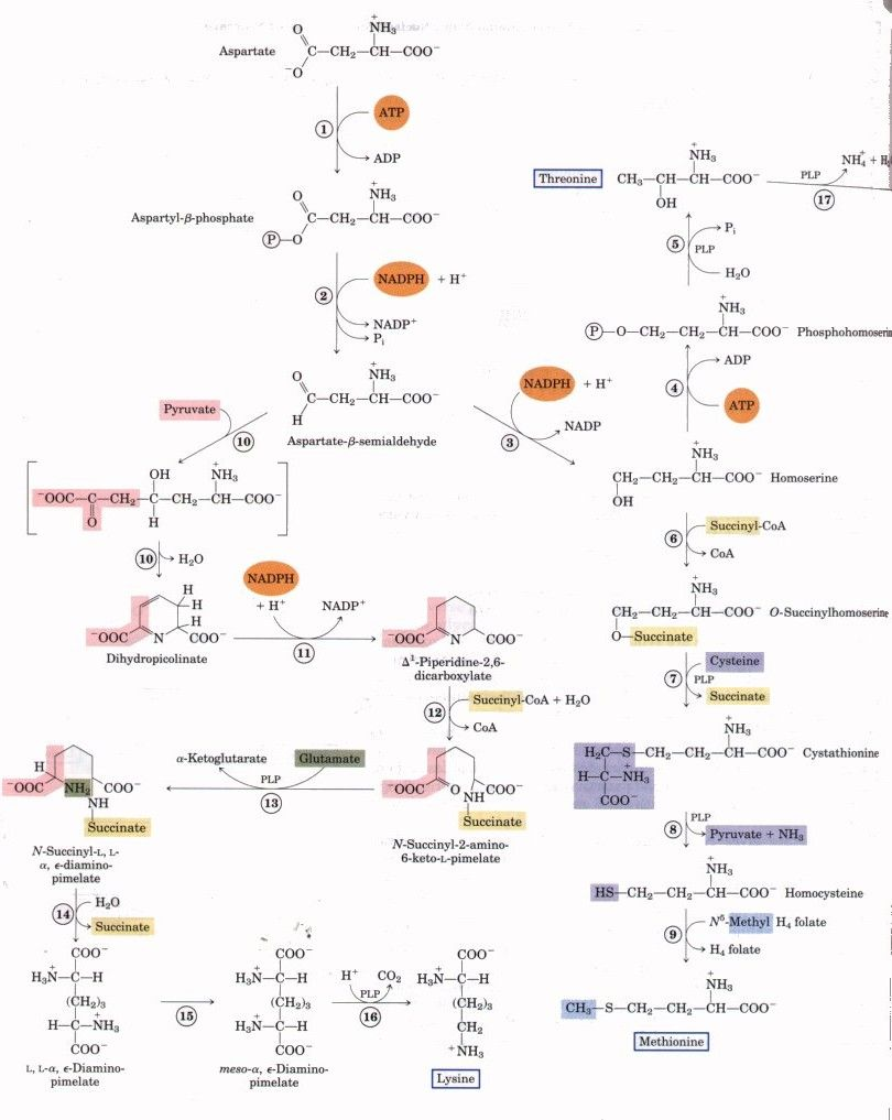 medium resolution of chapter 21 biosynthesis of amino acids nucleotides and related molecules made easy totl diagram