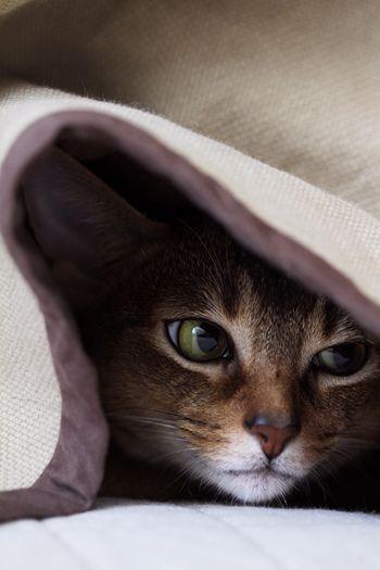 gatinho no cobertor