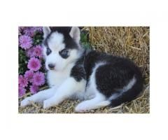 X Mass Siberian Husky Puppies With Blue Eyes For Homes Siberian
