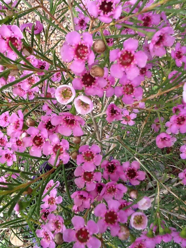 geraldton wax  endemic to western australia